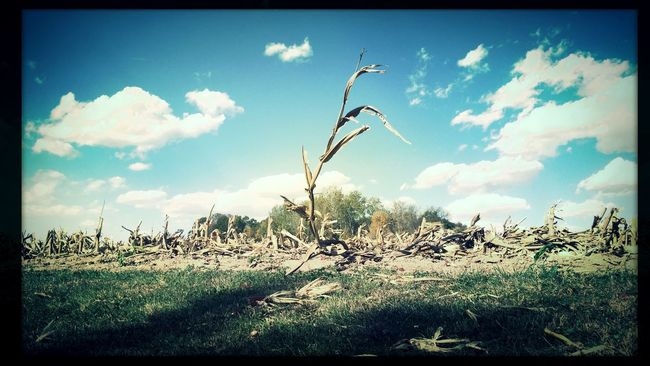 Remnants of the harvest. Check This Out Farm Agriculture Corn Harvest EyeEm Best Shots Fields Farmer Eye4photography  EyeEm Nature Lover