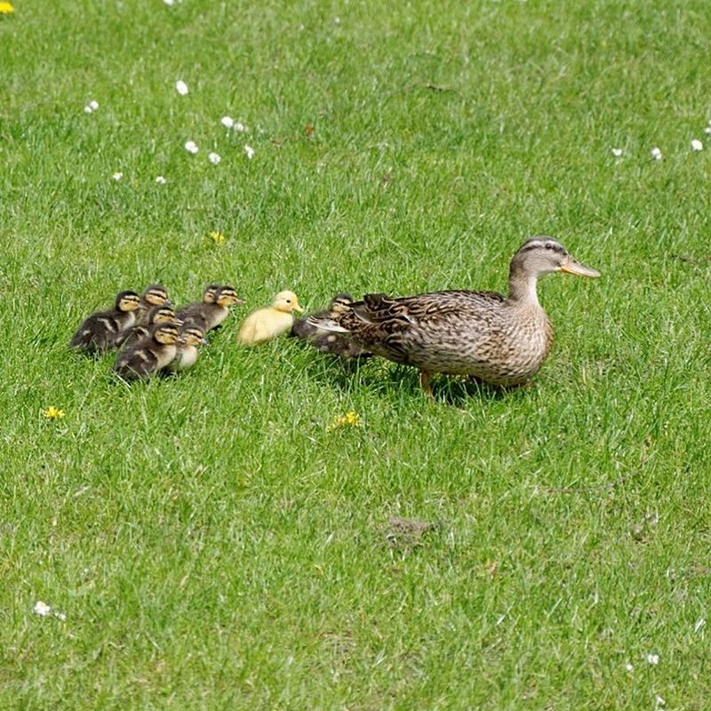 Mother Duck! What have you done? ;-) Duck Ducklings Enten Entchen tierbabys animalbabys natur nature animals cute süß small klein