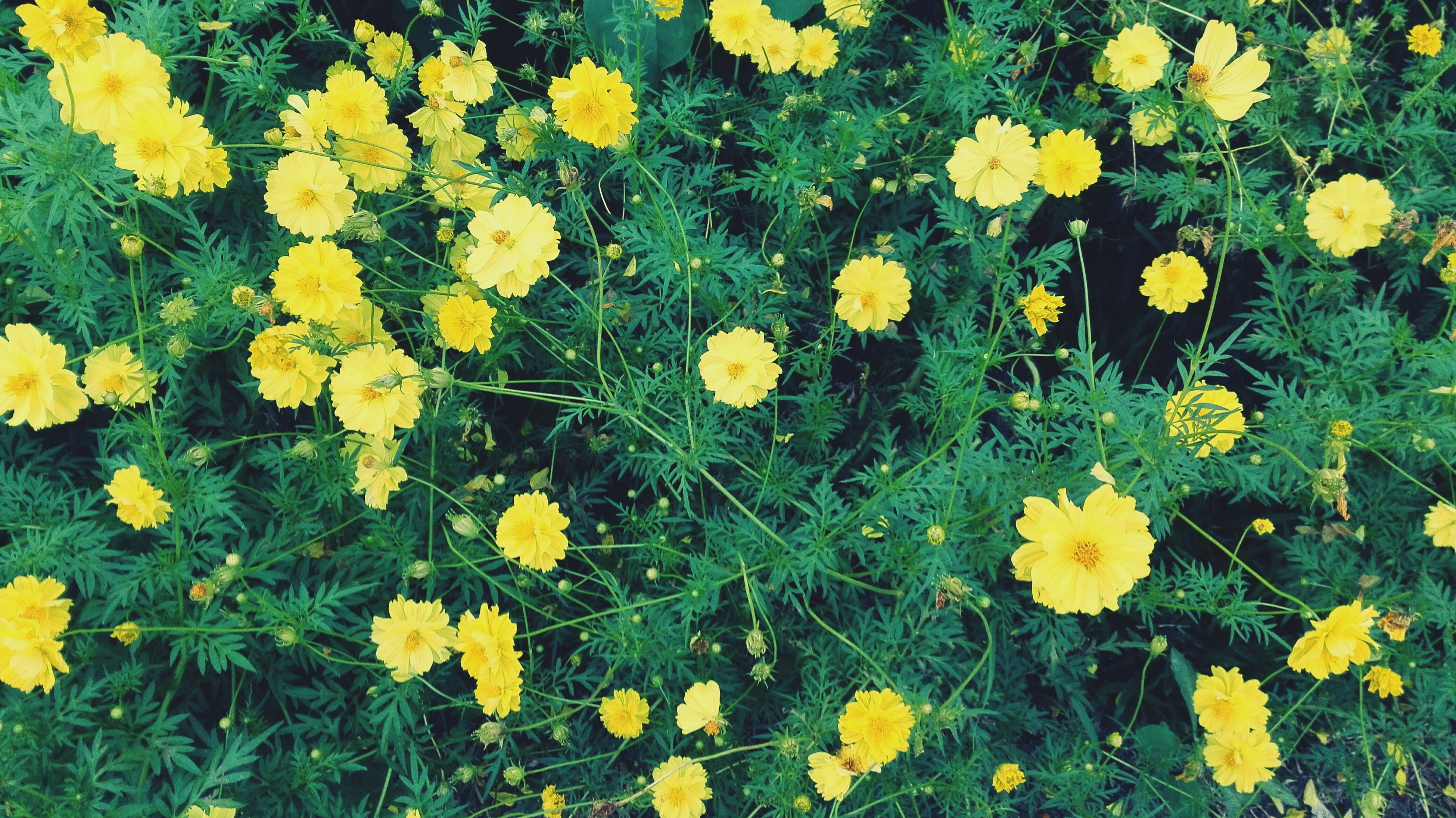 flower, yellow, freshness, growth, fragility, petal, beauty in nature, plant, high angle view, nature, green color, field, blooming, grass, flower head, leaf, in bloom, outdoors, day, no people