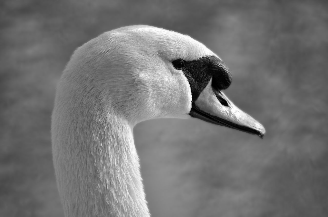 Animal Neck Animals In The Wild Bird Close-up Cygne Oiseau One Animal Swan