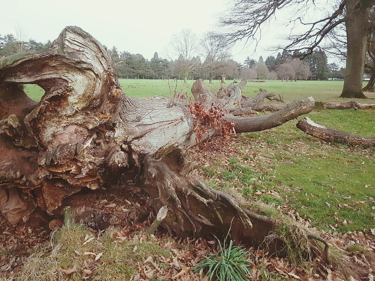 The fall of fall Outdoors Nature Day Tree No People Sky Felled Tree Fallen Tree Decaying Beauty In Nature Dead Plant Tree Trunk Rotting Dead Tree Rotting Wood Cracked Decaying Wood Wood - Material Textured  Tredegar House Newport National Trust 🇬🇧 Landscape Nature Tree