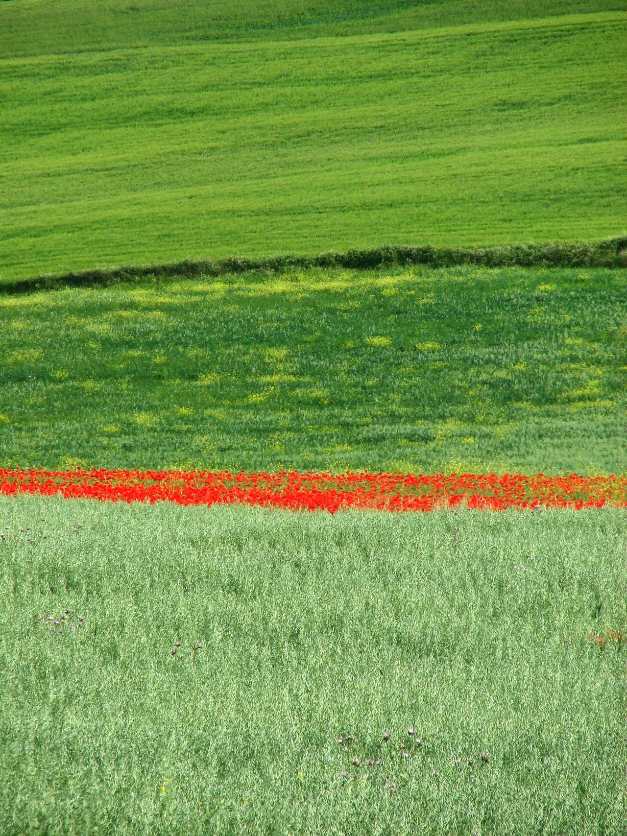 Poppy line. Green Color Field Crop  Grass Agriculture Backgrounds Sport No People Nature Cereal Plant Full Frame Rural Scene Outdoors Freshness Poppies  Beauty In Nature Springtime Freshness Nature Flower Head Fragility Awehaven's Andalucia