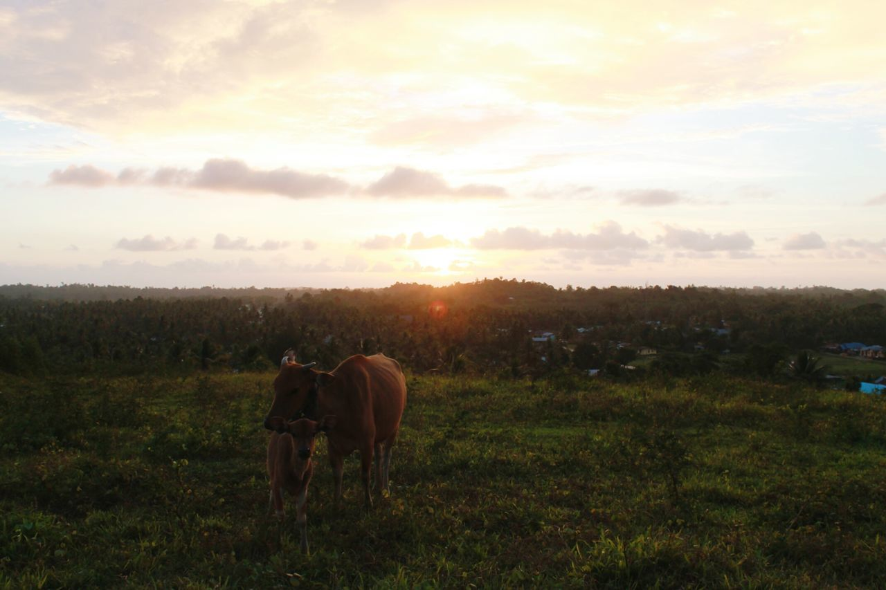 Cow With Calf On Grassy Field Against Sky At Sunset