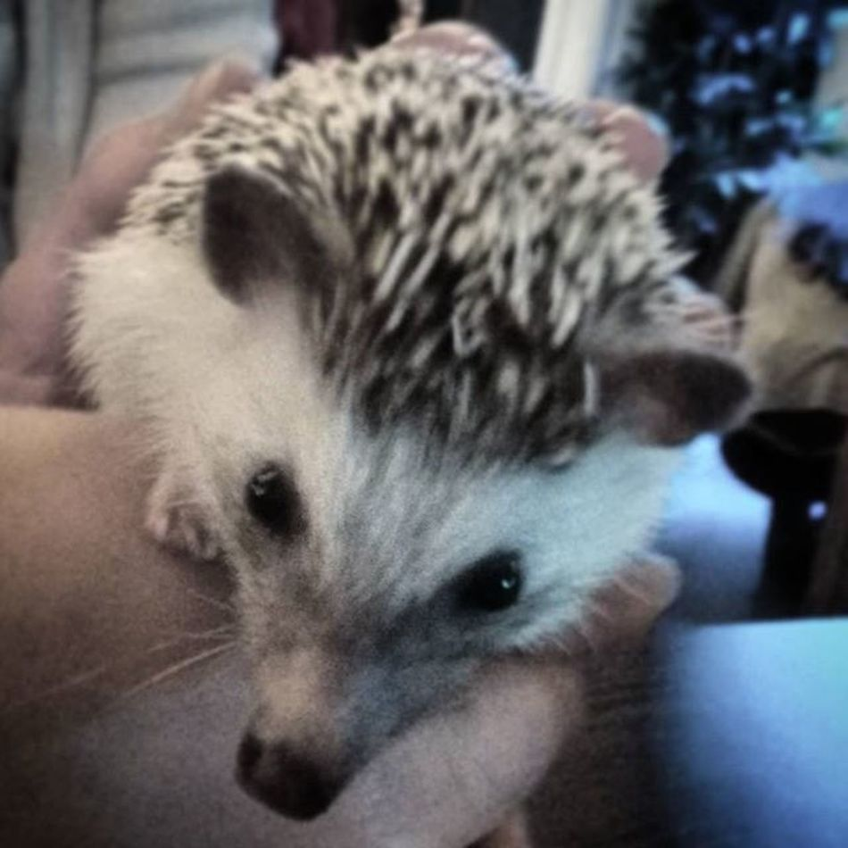 Hedgehog Zoocafebudapest Zoocafe Pet Petstagram Lovepets  Animal Loveanimals Nature LoveNature Winter Cute Budapest Ilovebudapest Cute Sündisznó Suni Blackandwhite