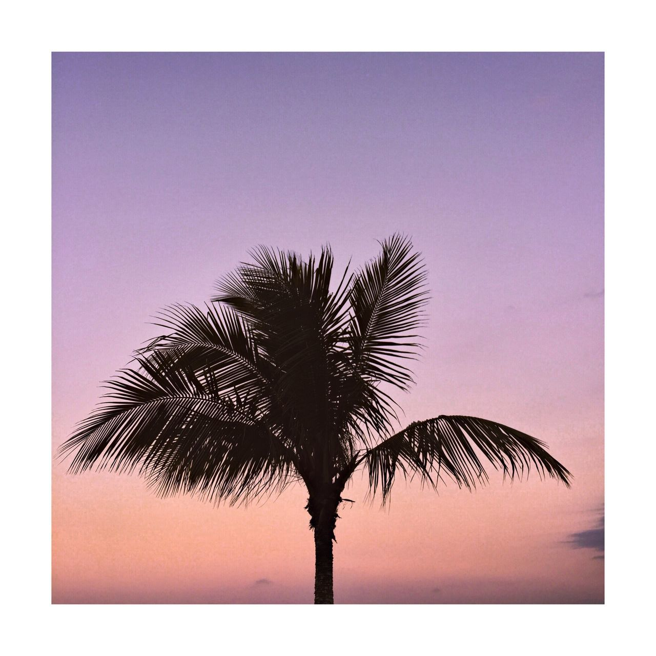 Palm Tree Tree Palm Frond Tree Trunk Low Angle View Growth Sky Scenics Beauty In Nature Silhouette Tranquil Scene Nature Outdoors Tall No People Clear Sky Day