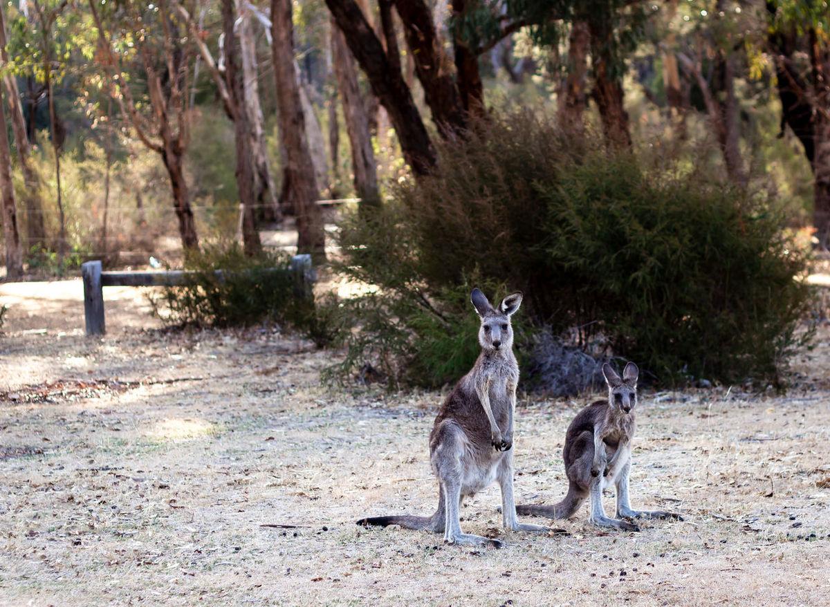 Bush kangaroos at Plantation Campground, Grampians National Park, Victoria, Australia Animal Themes Tree Nature Mammal Twoanimals Outdoors Animals In The Wild Day No People Beauty In Nature Landscape Australia Australiananimals Kangaroo Kangaroos Nativeanimals