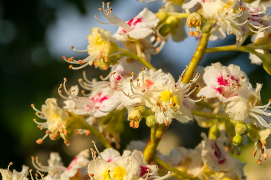 Horse Chestnut Tree Flowers Beauty In Nature Blooming Blossom Botany Bud Close-up Day Flower Flower Head Focus On Foreground Fragility Freshness Growth Horse Chestnut Flowers Horse Chestnut Tree In Bloom Nature No People Outdoors Petal Pollen Selective Focus Stem