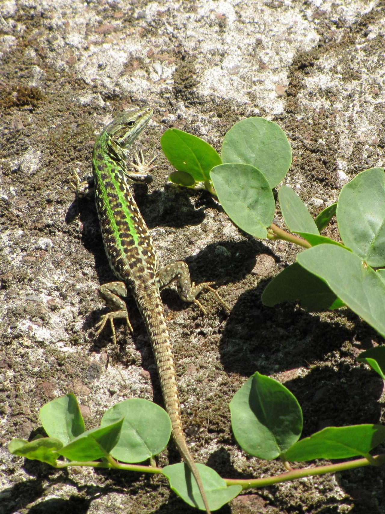 Animal Themes Animal Wildlife Animals In The Wild Beauty In Nature Close-up Day Fragility Green Color Growth Leaf Lizzard Nature No People One Animal Outdoors Plant Sunlight