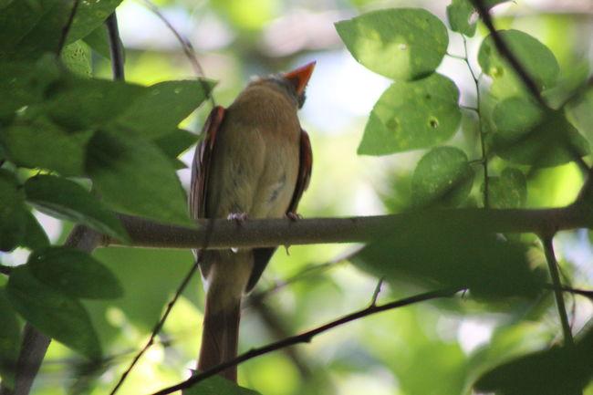 A Birds Eye View Animal Themes Avian Beauty In Nature Bird Branch EyeemPhotos Green Color Nature Perching Popular Photos Redbird Thingsinmybackyard Wildlife