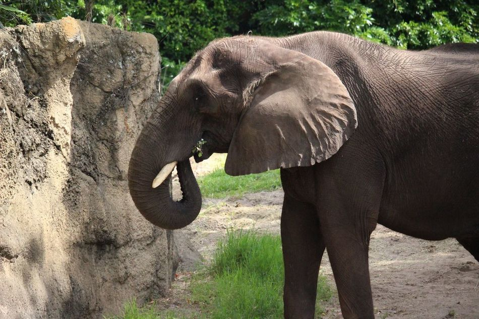 Elephant Animal Trunk African Elephant Animal Wildlife Animals In The Wild Tusk Safari Animals One Animal Outdoors No People Side View Nature Mammal Day Animal Themes Art Is Everywhere Close-up