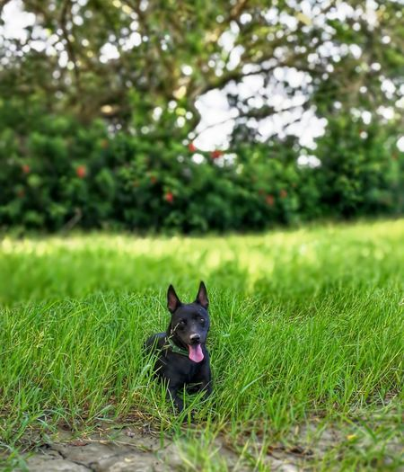 Dog Pets Domestic Animals Grass One Animal Animal Themes Mammal No People Looking At Camera Outdoors Sitting Portrait Day Ear Defocused Protruding Nature
