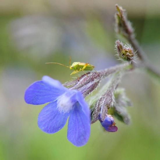 Punaise et bourache Faune & Flore Var SudDeFrance Nikon Insect Flower Nature Punaise Bourrache