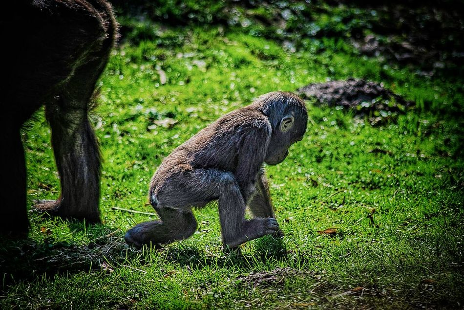 Grass Animal Themes One Animal Animals In The Wild Field Green Color Nature No People Outdoors Day Mammal Backgrounds EyeEmNewHere EyeEm New Here EyeEm Gallery Sunlight Eyeemphotography Nikon D600 Full Frame EyeEm Nature Lover Baby Animal Gorilla Ape Primat