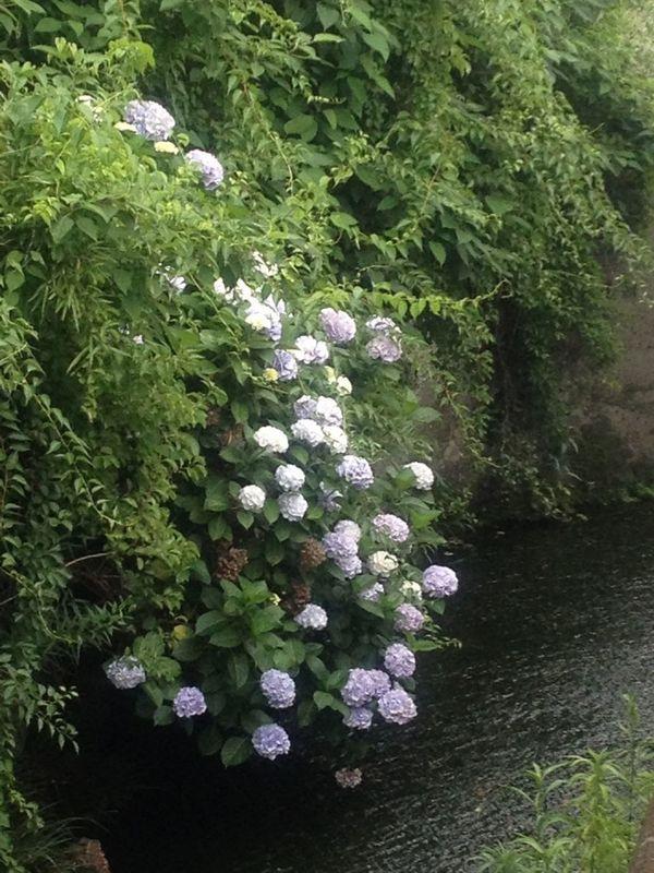 Hydrangea 紫陽花 Nature_collection Japan Scenery