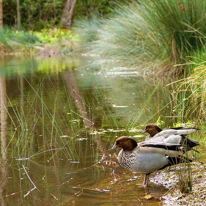 Ducks enjoying Springtime Spring Newy Newcastle Nature Birds Pond Blackbutt Blackbuttreserve Blackbuttreservepark Newie Mynewcastle Igersnewy Newcastlensw Natureaustralia Australiagram Newcastlelife Newcastlelifestyle Newyisok