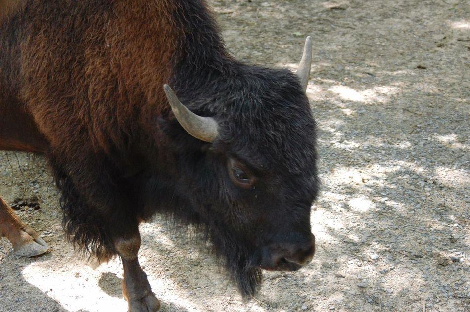 Beautiful stock photos of buffalo,  Animal Themes,  Buffalo,  Close-Up,  Day