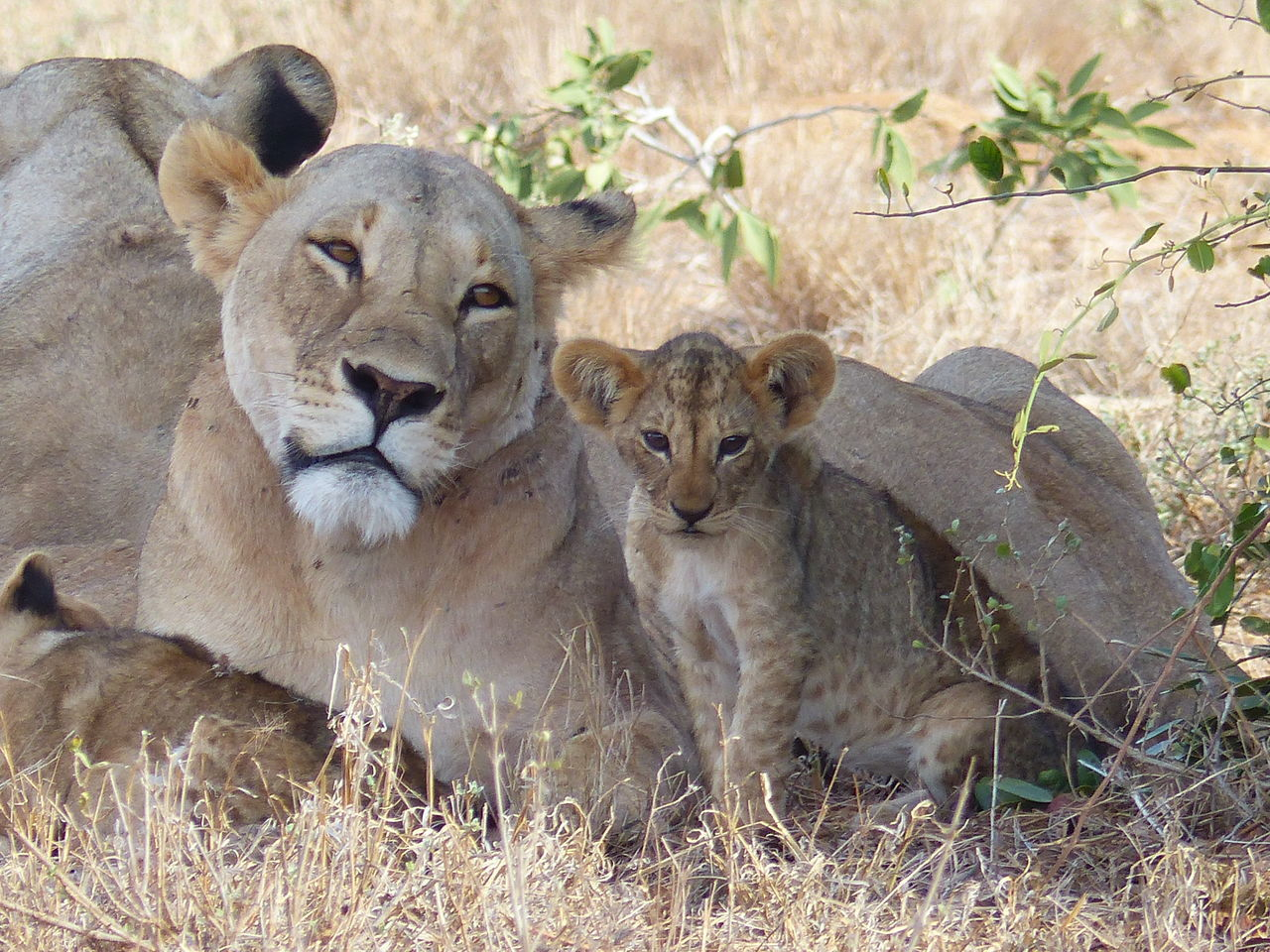 animals in the wild, animal wildlife, lion - feline, lioness, lion cub, animal, animal themes, outdoors, young animal, no people, day, mammal, female animal, animal family, safari animals, nature, portrait, togetherness, grass, beauty in nature