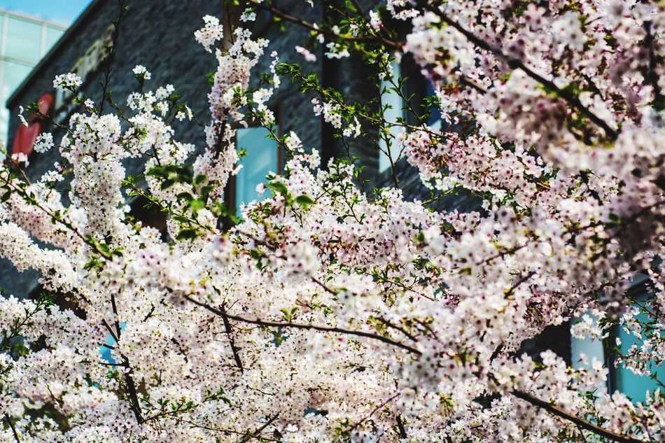 Sakura2015 Sakura Spring Flowers Springtime Spring Has Arrived EyeEmBestPics EyeEm Best Edits EyeEm Best Shots Flower Shanghai