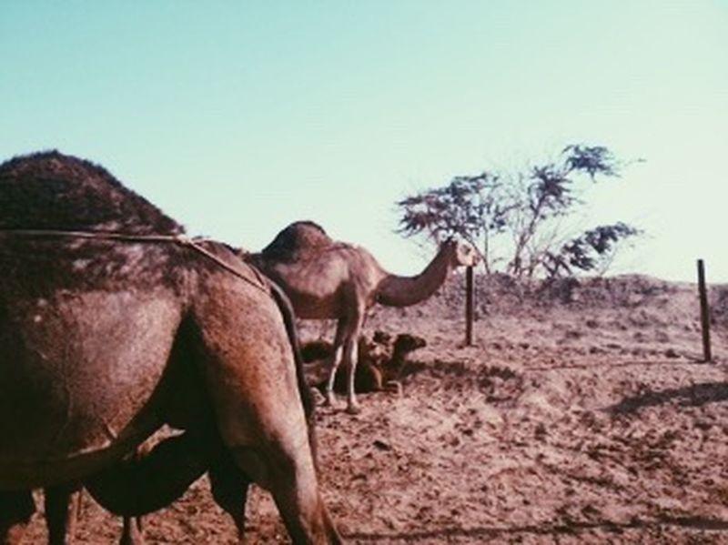 Makkah Saudi Arabia Desert Camels