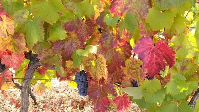 Growth Beauty In Nature Nature No People Multi Colored Close-up Outdoors Day Freshness Make Magic Happen Vineyard Agriculture Douro  Rural Scene Abundance Outumncolors Green Color Growth Nature No People Beauty In Nature Leaf Fragility Close-up Multi Colored