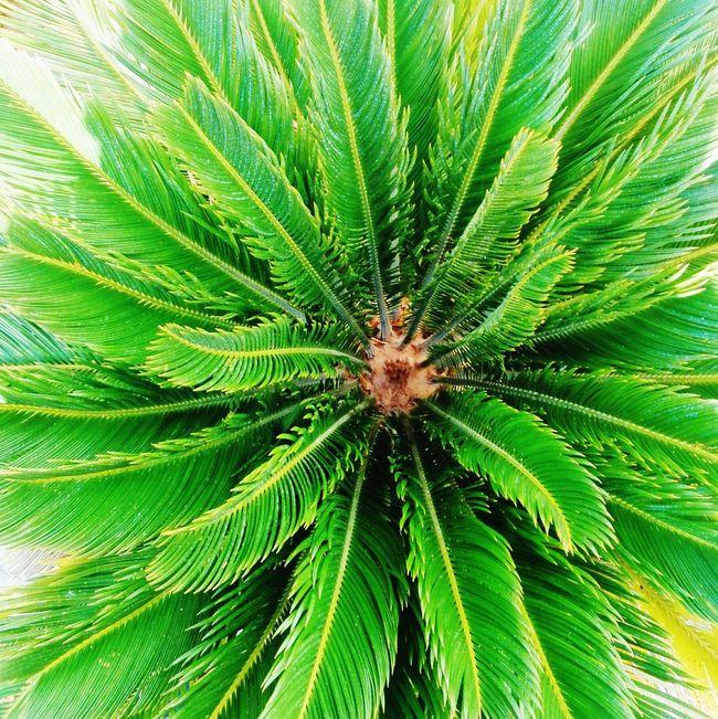 Palmera Palmera <3 Plants Plants 🌱