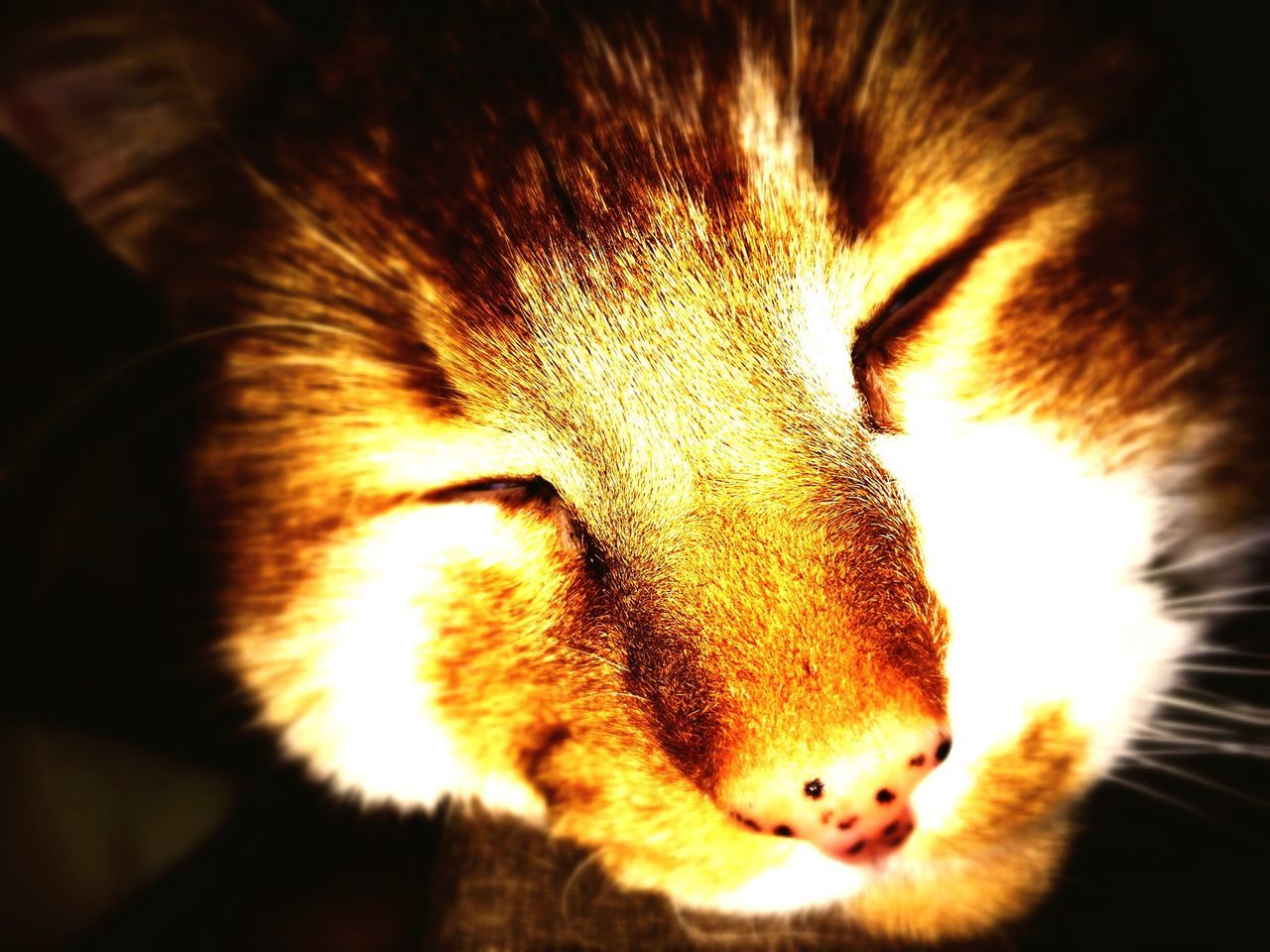 one animal, animal themes, domestic cat, mammal, domestic animals, pets, indoors, feline, close-up, no people, relaxation, portrait, day