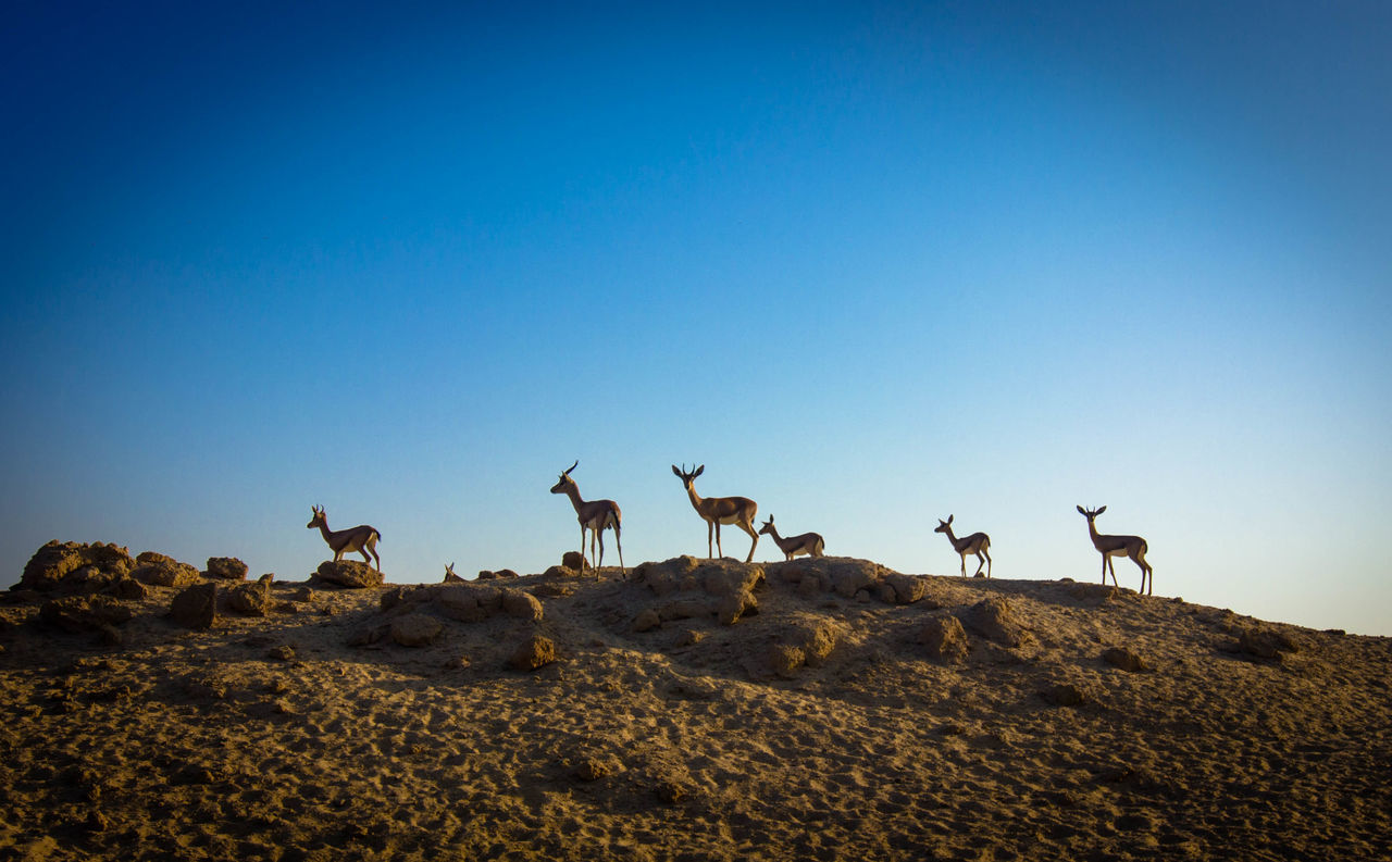 Animal Animals In The Wild Beauty In Nature Blue Day Deer Full Length Hill Safari Animals Wildlife