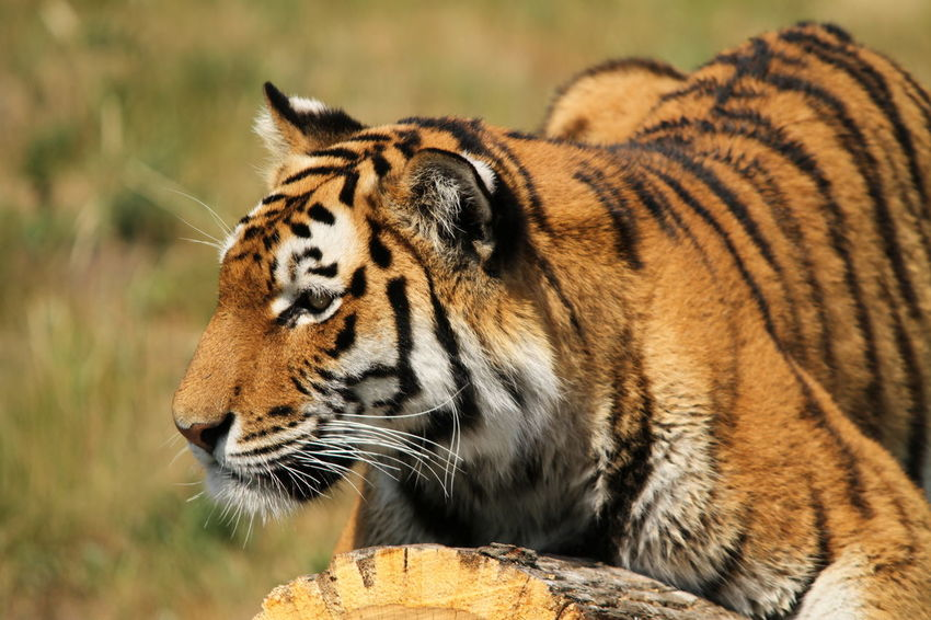 Tyger on a tree trunk Cat Domestic Animals Lying Down One Animal Tyger Zoo Animals  Zoology