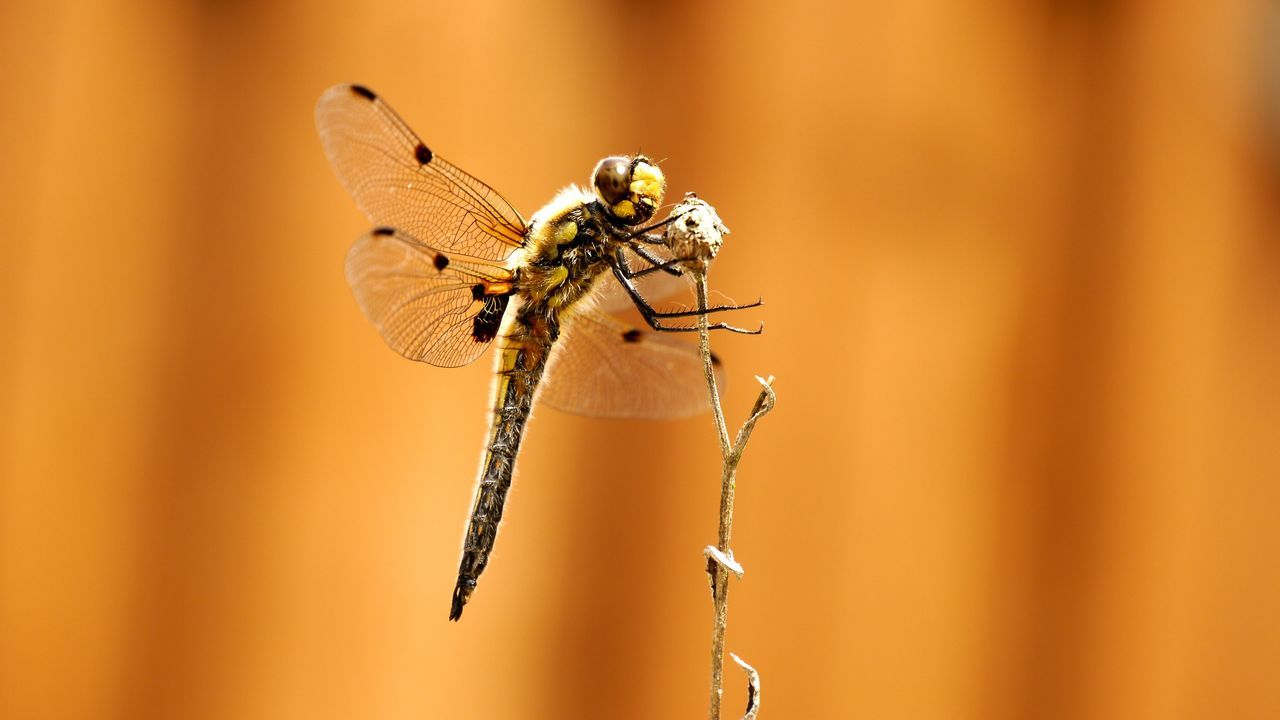 dragonfly Macro Animals Animals In The Wild Beauty In Nature Close-up Dragonfly EyeEm Gallery Eyem Gallery Focus On Foreground Fragility Insect Nature Power Wing Selective Focus Stem Structure Transparent Transparent Wings Wildlife Wings Orange Background Naturelovers Color Palette