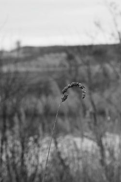 Dry Grass Close-up Close Up Photography Focus On Foreground Blury Background Dried Plant Black And White Collection  Black And White Photography Nature_collection Nature Photography