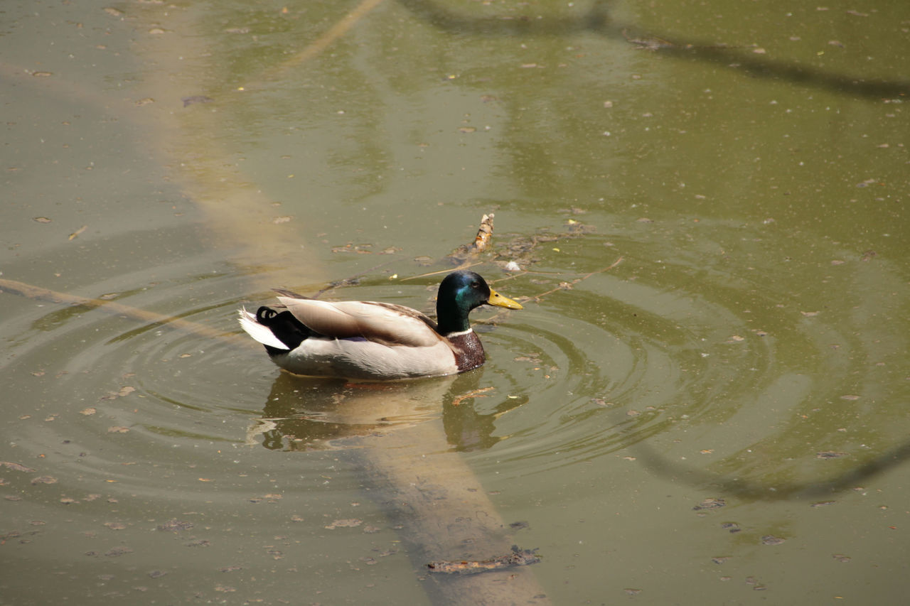 animal themes, animals in the wild, one animal, water, lake, swimming, waterfront, bird, animal wildlife, nature, reflection, water bird, no people, day, outdoors, beauty in nature