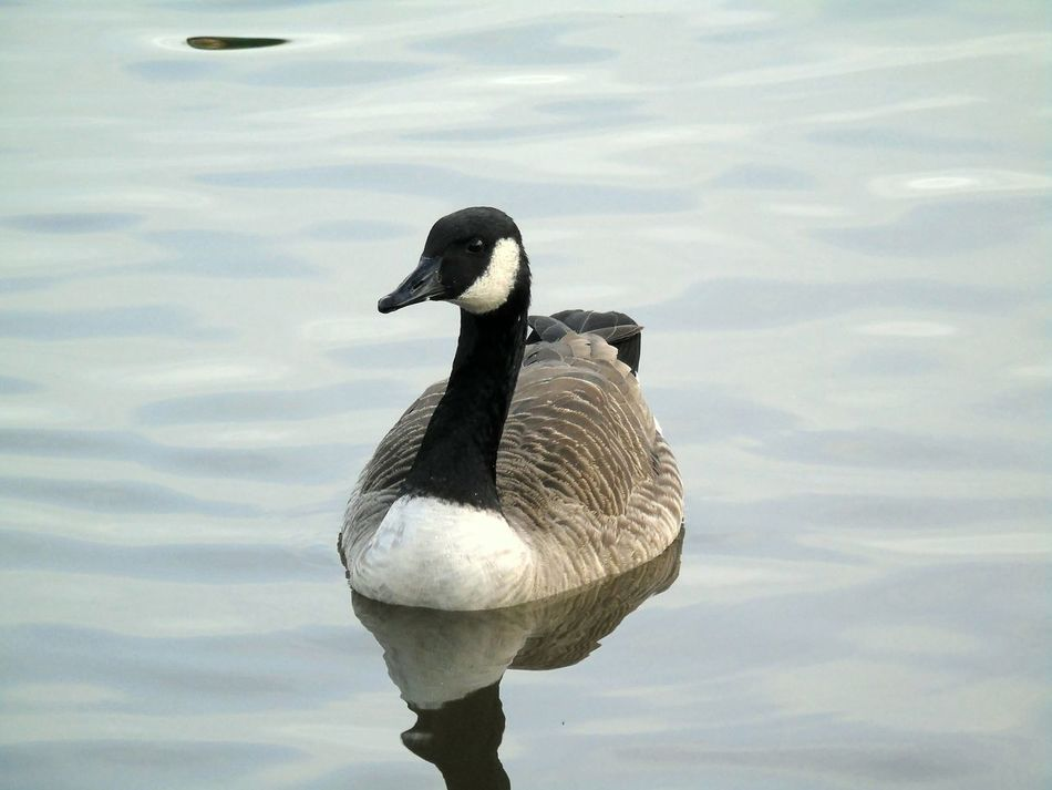 Bird Lake Animal Themes Water Animals In The Wild Swimming One Animal Close-up Water Bird Chewvalleylake Canada Goose
