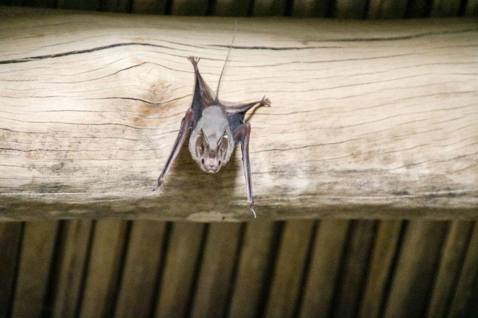Animal Bat Close-up Mammal Nature Oman Selective Focus Wildlife Wildlife & Nature Wood - Material