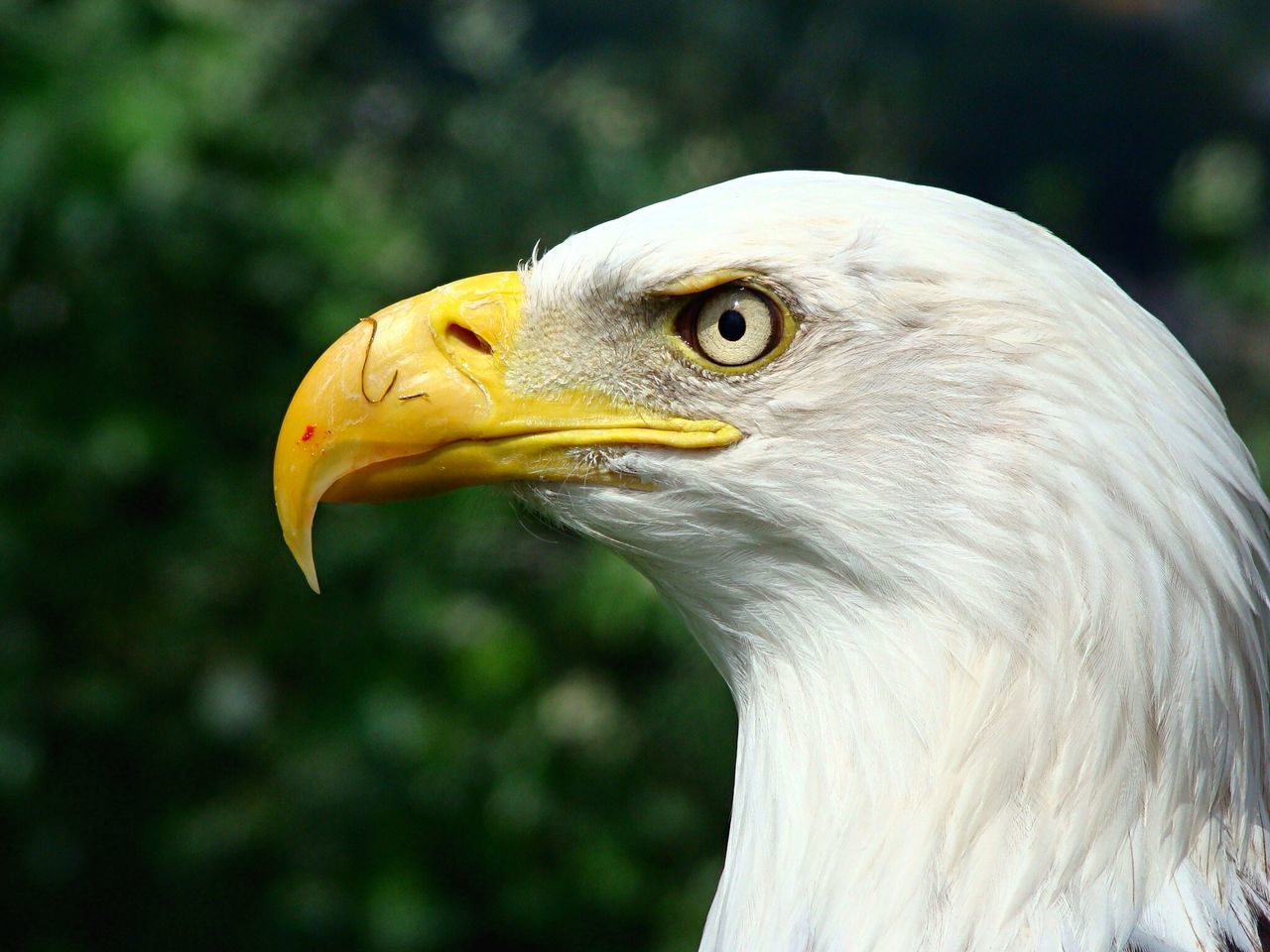 Beautiful stock photos of bald eagle, Animal Body Part, Animal Eye, Animal Hair, Animal Head