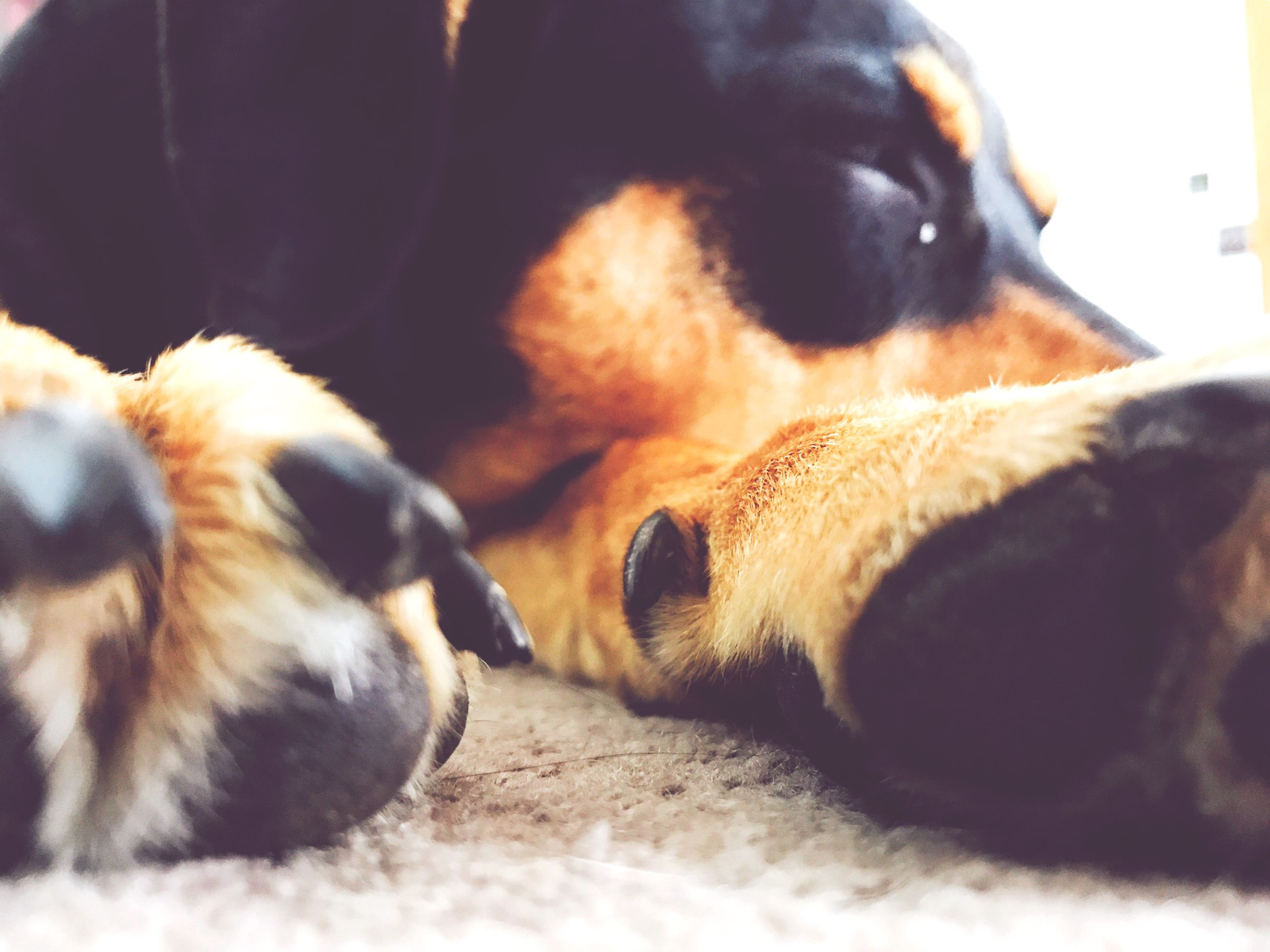 pets, domestic animals, animal themes, mammal, relaxation, dog, one animal, no people, close-up, indoors, day