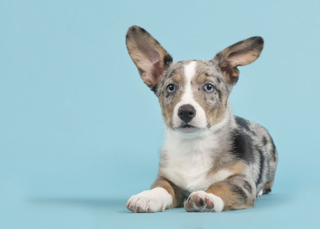 Cute blue merle welsh corgi puppy with blue eyes with one standing and one hanging ear lying down facing the camera seen from the side on a blue background Blue Merle Pet Portraits Animal Blue Merle Dogs Blue Background Cute Cute Dog  Cute Puppy Dog Lying Down Puppy Welsh Corgi Welsh Corgi Puppy