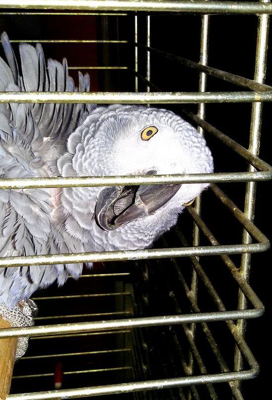 Graupapagei Close-up spricht den ganzen Tag 🍀 Very Old EyeEmAnimalLover Bird Pets Of Eyeem