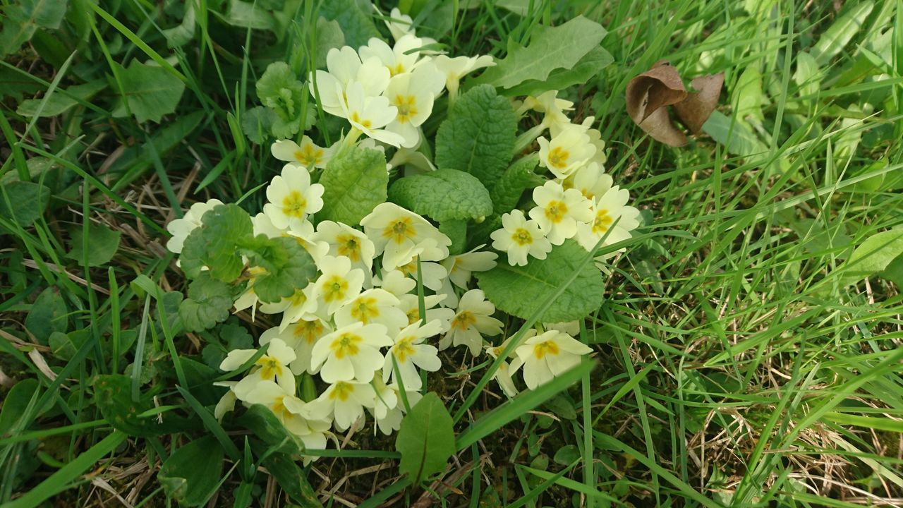 Beauty In Nature Blooming Close-up Day Field Flower Flower Head Freshness Grass Green Color Growth Nature No People Outdoors Primrose Yellow