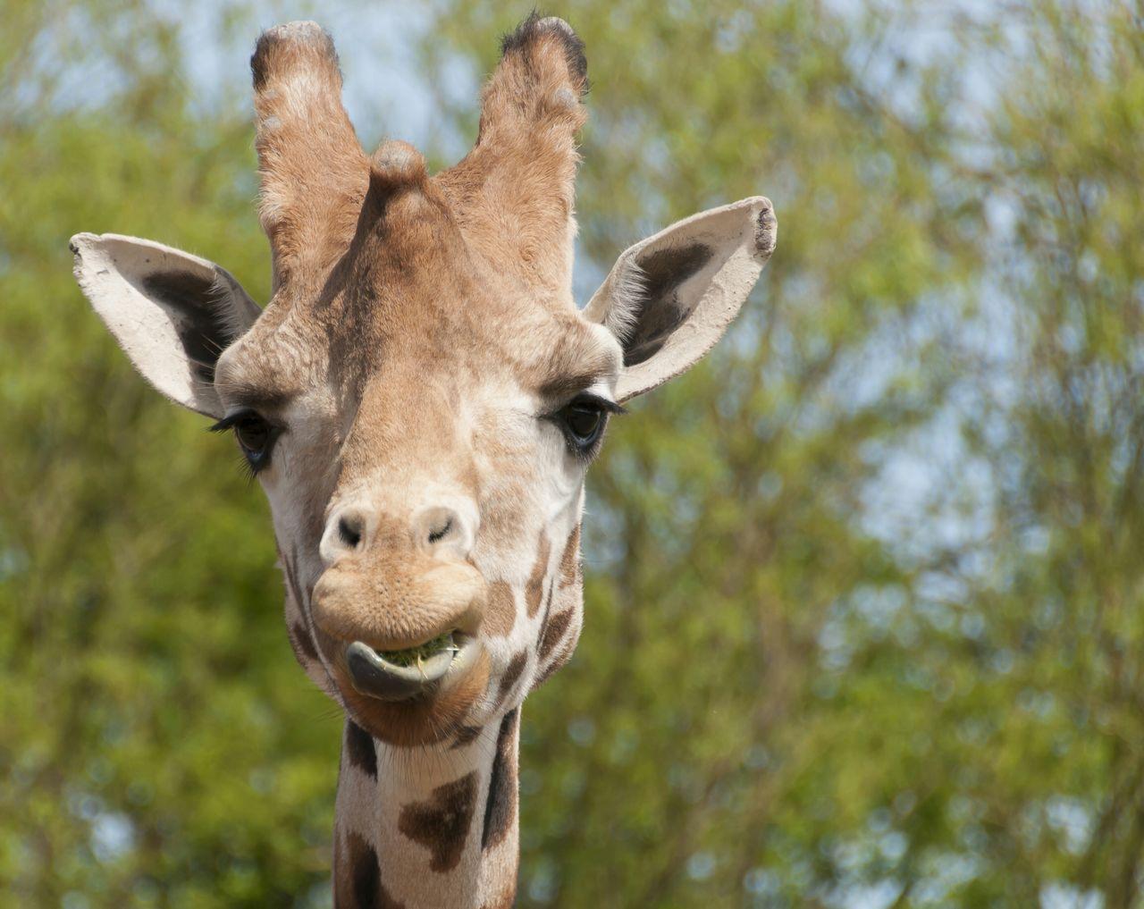 Beautiful stock photos of giraffe, Alertness, Animal, Animal Head, Animal Themes