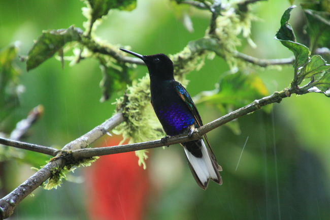 Animal Themes Animal Wildlife Animals In The Wild Beauty In Nature Bird Black Close-up Day Detail Ecuador Focus On Foreground Hummingbird Mashpi Forest Nature No People One Animal Outdoors Perching Purple Rain Rainforest Red Flower Tree Water Droplets Wild