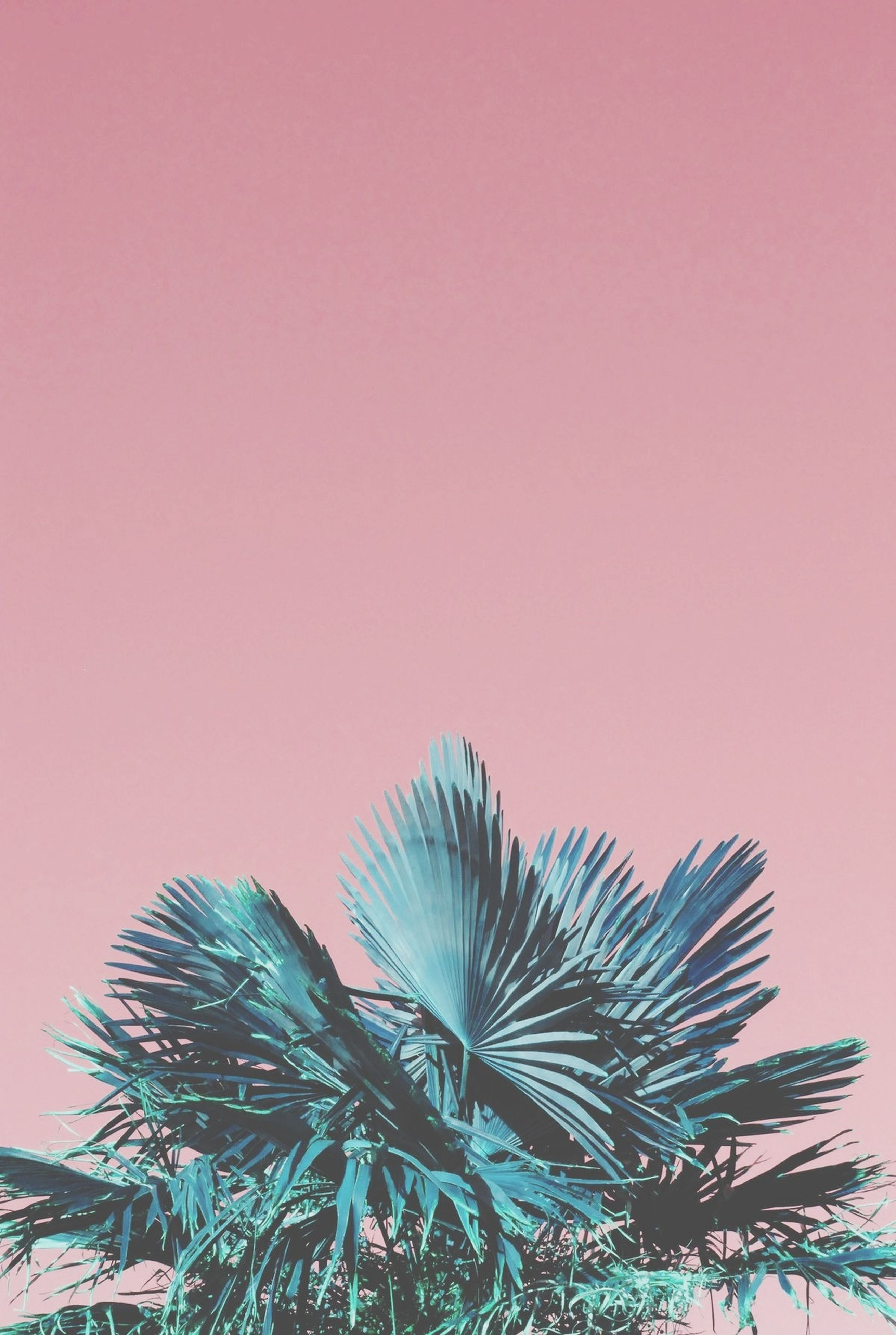palm tree, low angle view, tree, clear sky, growth, beauty in nature, nature, tranquility, sky, copy space, high section, leaf, scenics, branch, outdoors, no people, silhouette, palm leaf, tranquil scene, treetop
