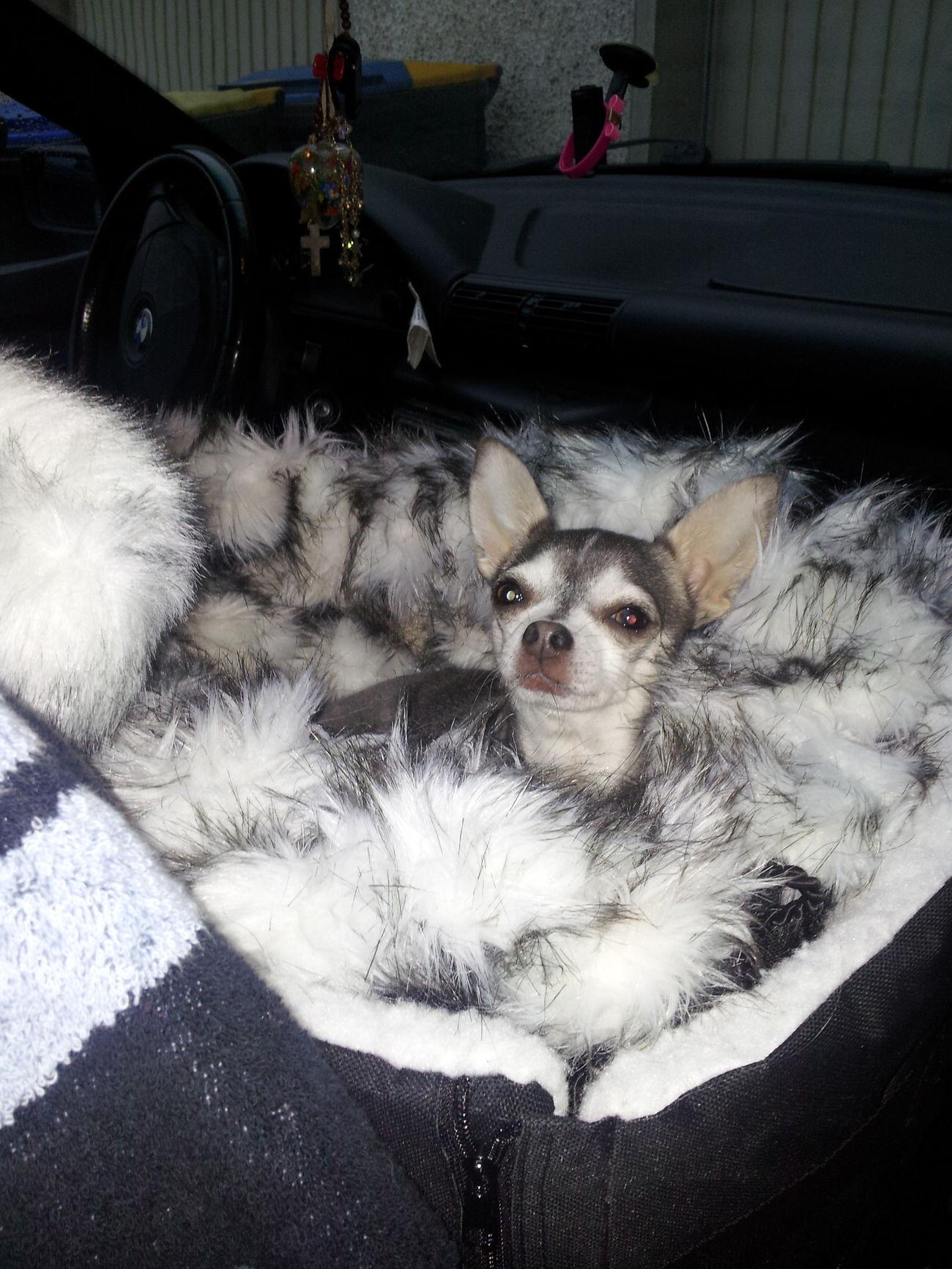 Chihuahuas<3 Glücklich :)