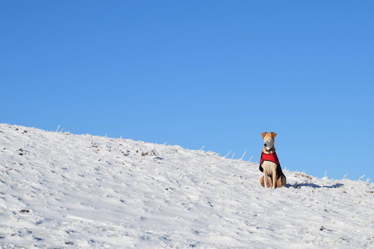 one animal, dog, full length, horse, winter, domestic animals, pets, clear sky, snow, outdoors, animal themes, adventure, working animal, one person, people, adult, one woman only, day, adults only, nature, human body part