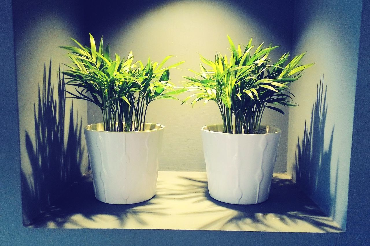 potted plant, indoors, plant, no people, growth, close-up, day, nature, freshness