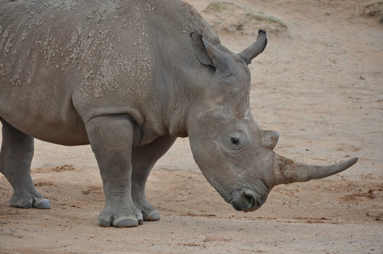 Animal Themes Animals In The Wild Aquila Game Reserve Day Elephant Endangered Animals Field Mammal Nature No People One Animal Outdoors Rhino Rhino Horn Rhinoceros
