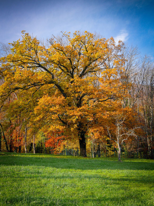 Automne Autumn Beauty In Nature Day Field Idyllic Landscape Nature No People Outdoors Rural Scene Season  Tilleul Tranquility Tree Yellow