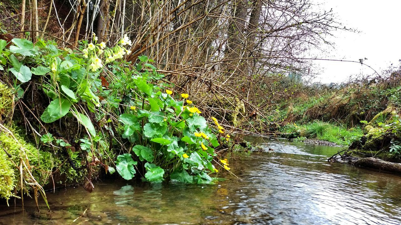 Creek Flowers Spring Flowers Spring Oxlip Cowslip Marsh Marigold Kingscup Neighbors