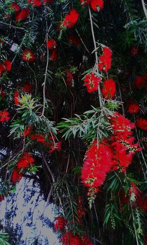 Mersin flower