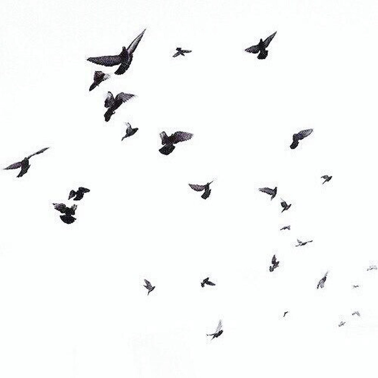 flying, large group of animals, bird, animals in the wild, animal themes, flock of birds, animal wildlife, colony, mid-air, outdoors, togetherness, no people, nature, spread wings, day, sky
