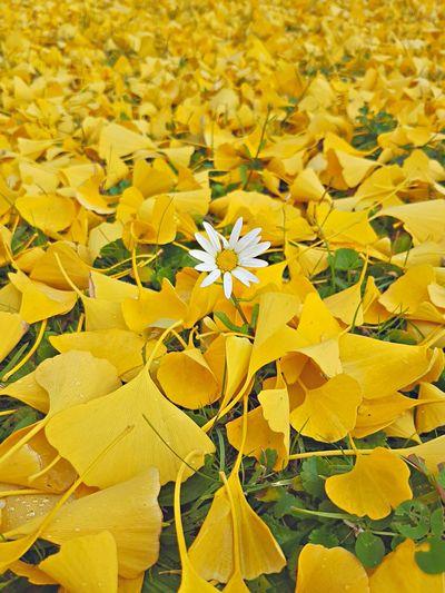 Flowers Ginkobiloba Nature Yellow Ginko Autumn Colours Autumn🍁🍁🍁